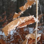 dried orange leaves, tinged with hoarfrost